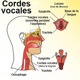 Cordes vocales extinction de voix