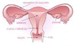 Uterus 2